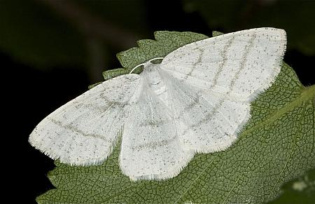 Common White Wave, Cabera pusaria, Co Louth