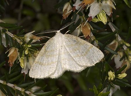Common Wave, Cabera exanthemata, Co Louth
