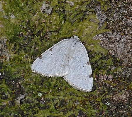 70.279, White-pinion Spotted, Lomographa bimaculata, Co Wexford