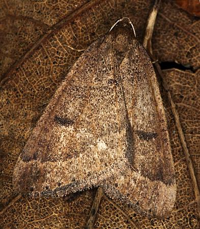 70.282 Early Moth, Theria primaria, Co Louth