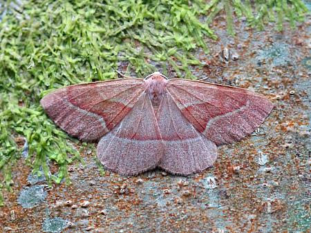 70.284 Barred Red, Hylaea fasciaria, Co. Leitrim