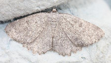 70.287 Annulet, Charissa obscurata, Co Down