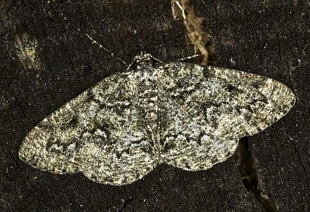 70.288 Brussels Lace, Cleorodes lichenaria, Co Louth