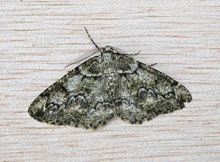70.288 Brussels Lace, Cleorodes lichenaria, Co Wicklow