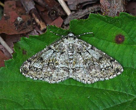 Brussels Lace, Cleorodes lichenaria, Co Leitrim