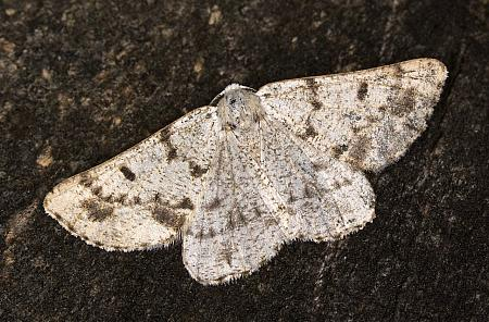 Grey Scalloped Bar, Dyscia fagaria, Co Louth