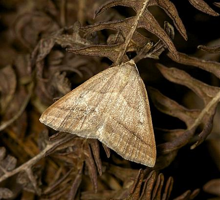 70.222 Brown Silver-line, Petrophora chlorosata, Co Louth