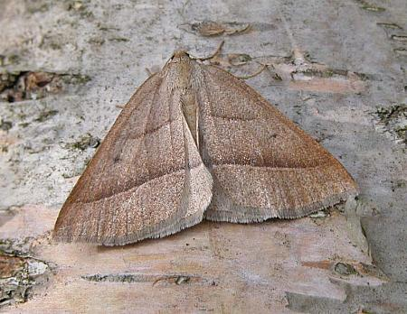 70.222 Brown Silver-line, Petrophora chlorosata, Co Wicklow