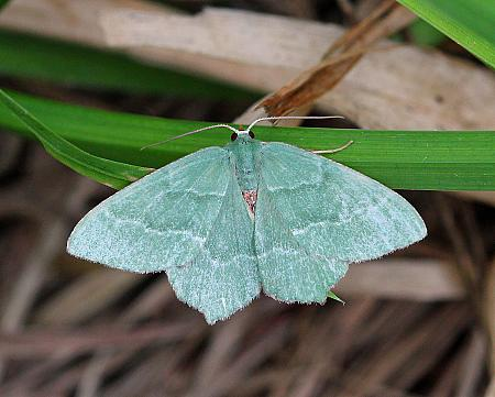 Common Emerald, Hemithea aestivaria, Co Leitrim