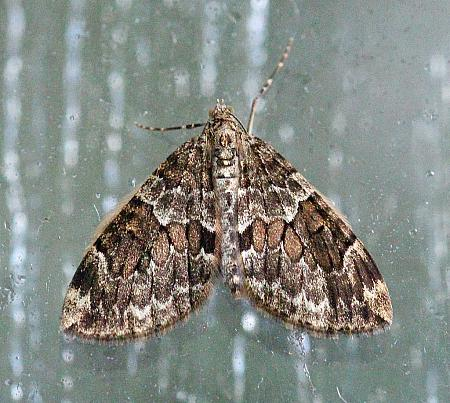 Spruce Carpet, Thera britannica, Co Donegal