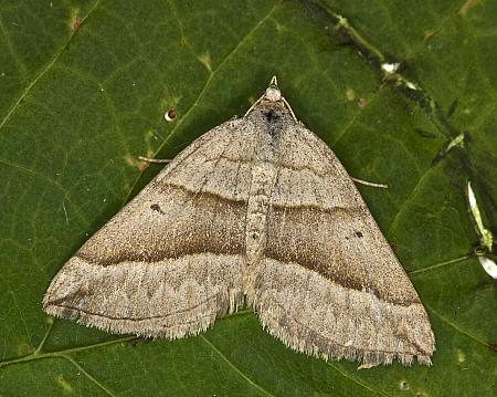 70.04 Lead Belle, Scotopteryx mucronata, Co Louth
