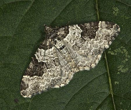 70.049 Garden Carpet, Xanthorhoe fluctuata, Co Louth