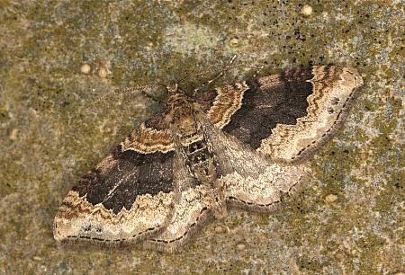 70.052 Dark-barred Twin-spot Carpet, Xanthorhoe ferrugata, Co Louth