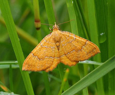 Yellow Shell, Camptogramma bilineata, Co Donegal