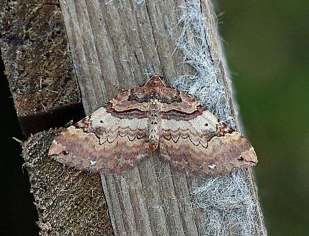 Shoulder Stripe, Earophila badiata, Co Leitrim