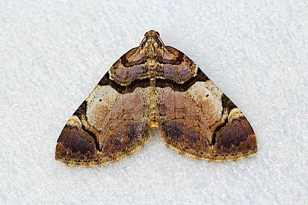 Streamer, Anticlea derivata, Co Leitrim