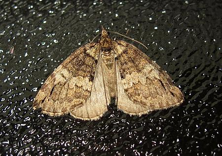 May Highflyer, Hydriomena impluviata, Co Leitrim