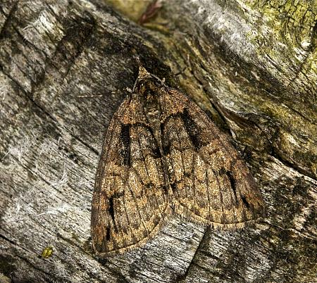 Ruddy Highflyer, Hydriomena ruberata, Co Louth