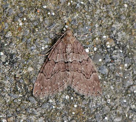 70.078 Chestnut-coloured Carpet Thera cognata, Co Clare
