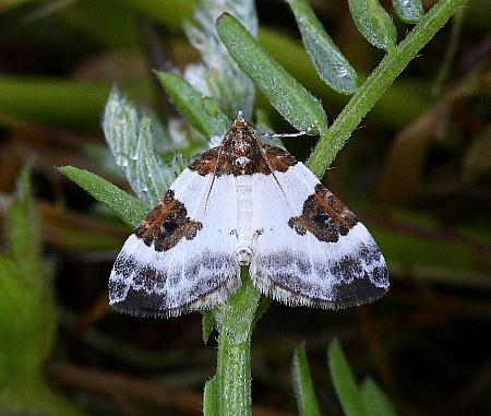 70.084 Blue-bordered Carpet, Plemyria rubiginata, Co Leitrim