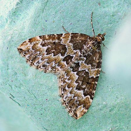 Broken-barred Carpet, Electrophaes corylata, Co Leitrim