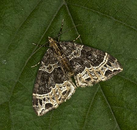 70.094 Small Phoenix, Ecliptopera silaceata, Co Louth