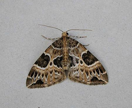 70.094 Small Phoenix, Ecliptopera silaceata, Co Wicklow