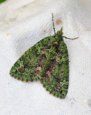 Red-green Carpet, Chloroclysta siterata, Co Leitrim