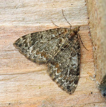Common Marbled Carpet, Chloroclysta truncata, Co Leitrim