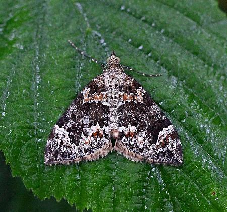 Dark Marbled Carpet, Chloroclysta citrata, Co Donegal