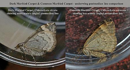Dark & Common Marbled Carpet underwing comparison