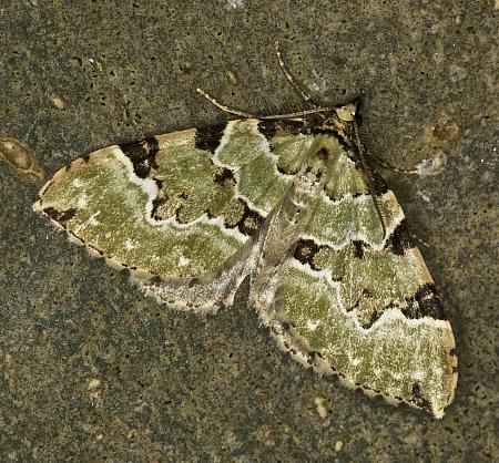 70.1 Green Carpet, Colostygia pectinataria, Co Louth