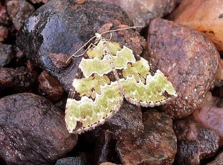 Green Carpet, Colostygia pectinataria, Co Antrim