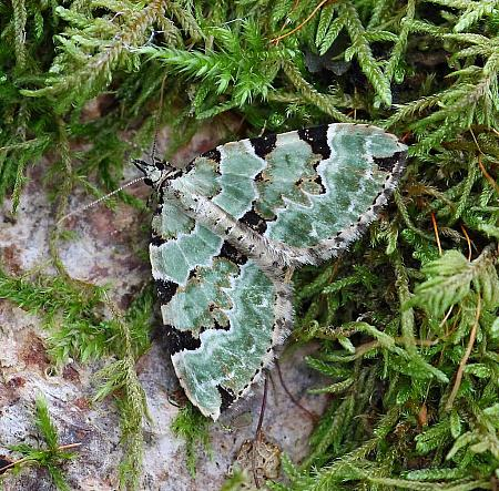 Green Carpet, Colostygia pectinataria, Co Leitrim