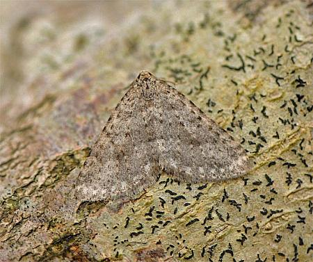 70.101 Mottled Grey, Colostygia multistrigaria, Co Wexford