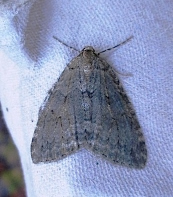 70.108 Pale November Moth, Epirrita christyi, Co Waterford