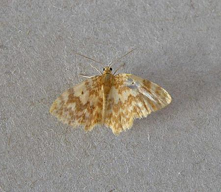 70.114 Small Yellow Wave, Hydrelia flammeolaria, Co Wexford