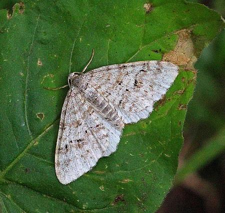 Welsh Wave, Venusia cambrica, Co Leitrim