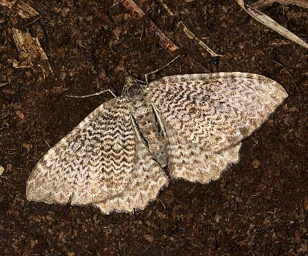 70.121 Scallop Shell, Hydria undulata, Co Louth
