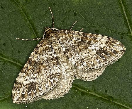 70.131 Twin-spot Carpet, Mesotype didymata, Co. Louth