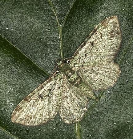 Green Pug, Pasiphila rectangulata, Co Louth