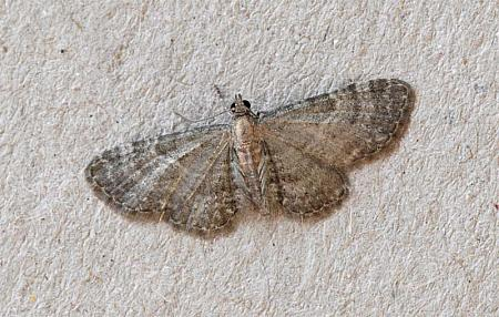 70.146 Haworth's Pug, Eupithecia haworthiata, Co Wexford