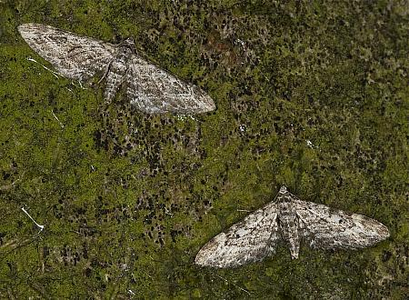 70.168 Narrow-winged Pug, Eupithecia nanata, Co Louth