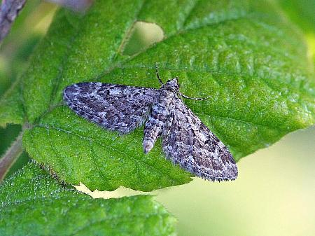 Narrow-winged Pug, Eupithecia nanata, Co Donegal