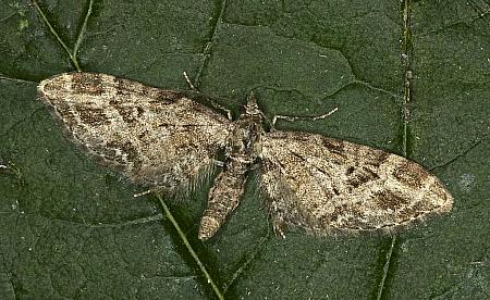 Mottled Pug, Eupithecia exiguata, Co Louth