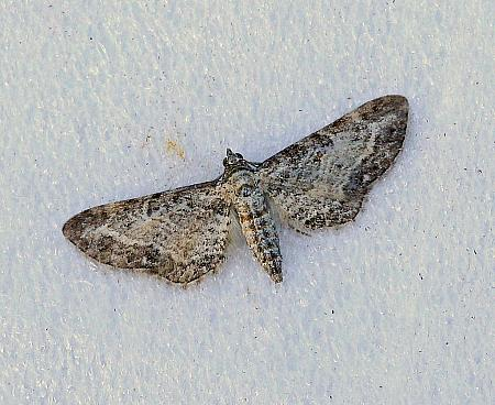 Shaded Pug, Eupithecia subumbrata, Co Donegal