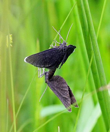 Chimney Sweeper, Odezia atrata, Co Donegal