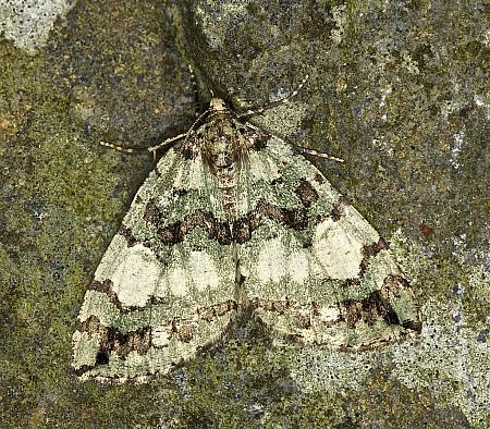 70.074 July Highflyer, Hydriomena furcata, Co Louth