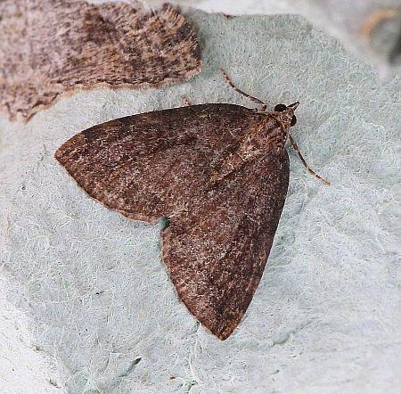 July Highflyer, Hydriomena furcata, Co Donegal