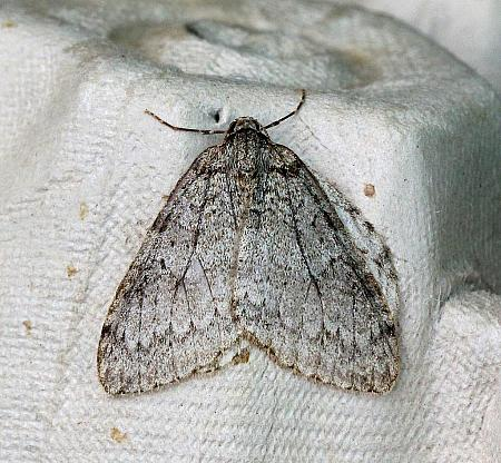 November Moth, Epirrita dilutata, Co Leitrim